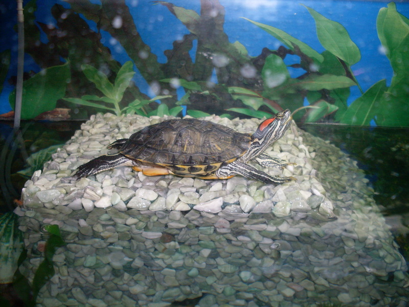 Бережки для красноухой черепахи