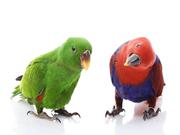 попугай ЭКЛЕКТУС, птенец выкормышь,  обсльтно ручной и ласковый 029-7624