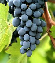 оптом виноград сорт