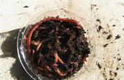 Реализуем червя для рыбалки оптом