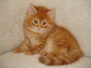 Сибирские пушистые котята.8-025-9809776