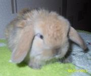Декоративные кролики продажа карликовых кроликов Минск