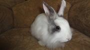 Ручной кролик , декоративный, девочка.ПРОДАМ