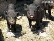 вьетнамские и корейские свиньи