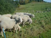 Продаём овец мясной породы МЕРИНОС