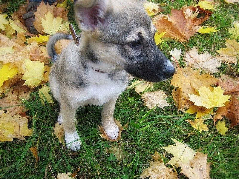 Отдается щенок-девочка в добрые руки! (4 фото) - Минск.