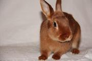 Продажа декоративных грызунов: кролики,  морские свинки,  крысы и мыши.
