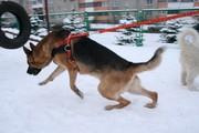 Ездовые шлейки для собак