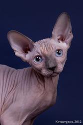 Эксклюзивный котёнок от кутюр для Вас!