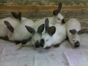 Кролики мясных пород Калифорнийский кролик и Бельгийский Великан