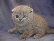 Британские и Вислоухие котята (голубой, лиловый)