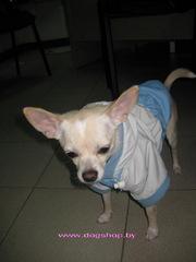 Нарядная  утепленная  курточка для собак весом от 2, 3 до 3, 5 кг.