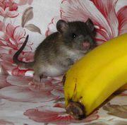 Крысята ищут новый дом