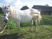 Продаётся обученная,  послушная,  добрая , лошадка