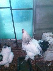 яйцо инкубационное пародистай птицы