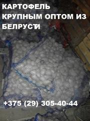 Картофель крупным оптом напрямую от производителя в Беларуси