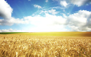На постоянной основе закупаем зерно фуражное ( тритикале,  кукуруза,  пш