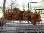 Кролики новозеландские красные и калифорнийские