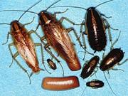 Уничтожение тараканов,  мышей,  постельных клопов.