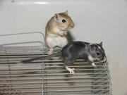 Песчанки (мышки) ищут заботливых хозяев