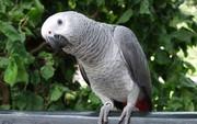 Попугай большой Жако