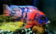Аквариумные рыбки-Цихлиды разные
