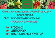 Саженцы крупноплодных сортов клубники - в Минск и Беларусь