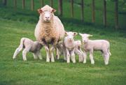 Все для овцеводства