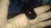продам нимф мадагаскарского таракана старших линек
