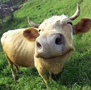 Обрезка копыт коровам
