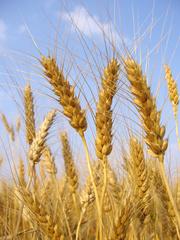 Рапз,  пшеница