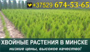 Растения хвойные в Минске. Низкие цены,  большой выбор.