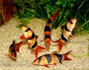 Боция Клоун рыбки