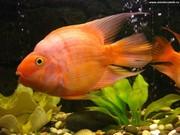 Цихлида попугай оранжевая+1 рыбка в подарок )