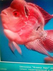 Фловернхорн баллон красный + 1 рыбка в подарок! )
