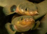 Каламоихт калабарский (Erpetoichthys calabaricus) рыба змея.