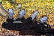 Змееголов карликовый (Channa gachua