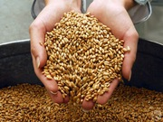 Покупаем зерно,  пшеницу,  ячмень,  овес,  тритикале ДОРОГО