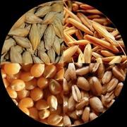 Пшеницу фуражную куплю