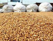 Организация на постоянной основе закупает зерно.