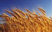 пшеницу , организация закупает по хорошей цене, постоянно