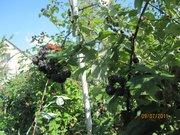 саженцы чёрной малины Кумберленд с открытой и закрытой корневой системой