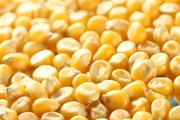 Закупаем зерно фуражное Кукуруза