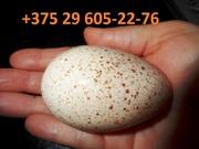 Индюшиное яйцо. Яйцо на разведение индюков,  индюшонок. Яйцо