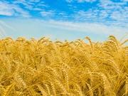 Продаем зерно фуражное, муку обойную