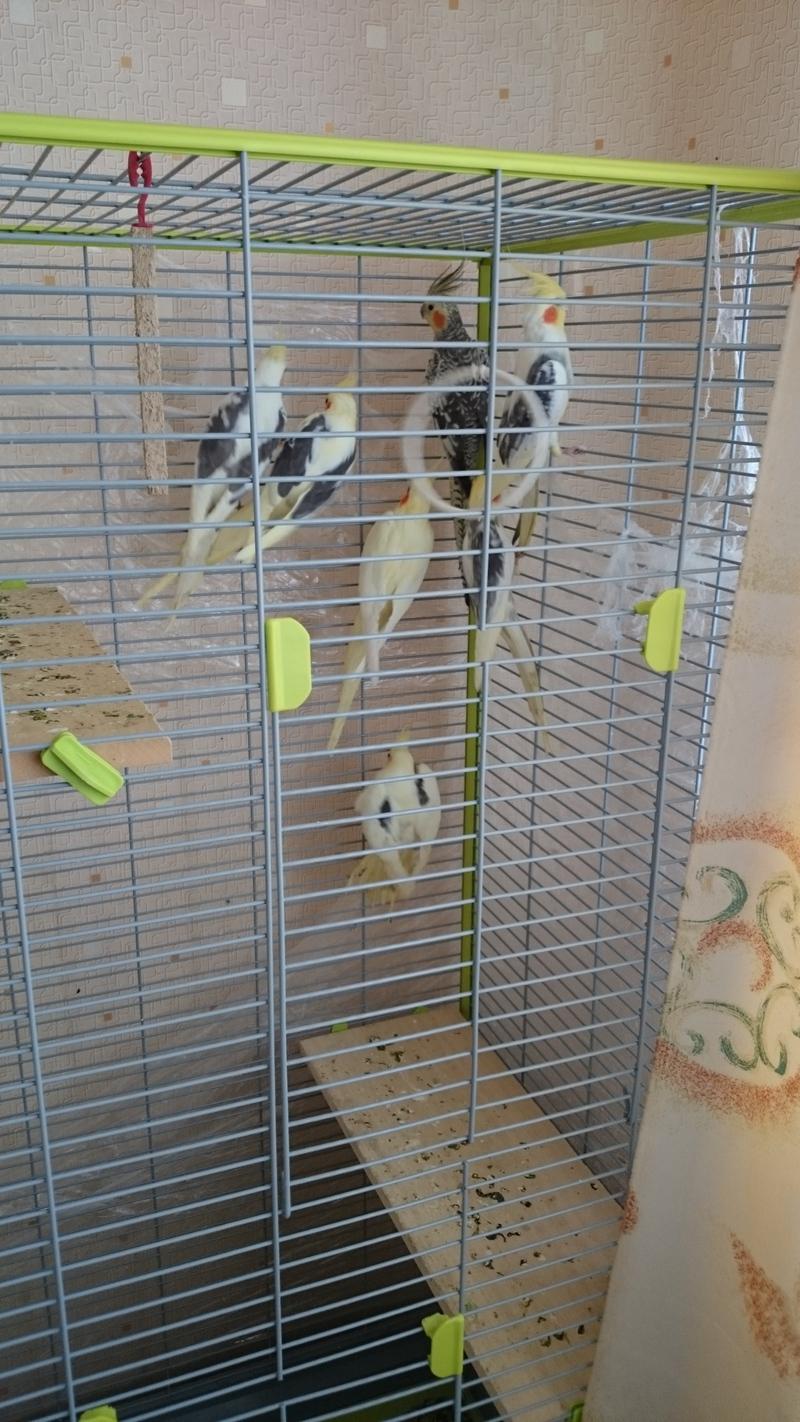 Попугаи корелла: особенности содержания в домашних условиях 33