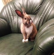 Кролик декоративный карликовый
