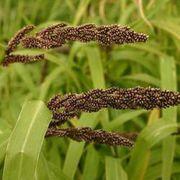 Семена Пайзы