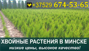 Растения хвойные в Минске. Низкие цены