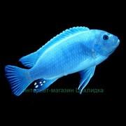 голубая Зебра